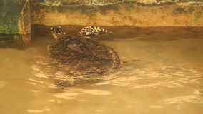 Adult turtle swimming in pool in conservation area in Sri Lanka stock footage