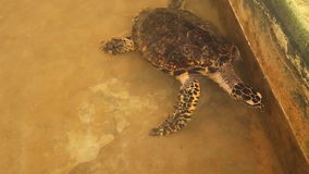 Adult turtle swimming in pool in conservation area in Sri Lanka stock video