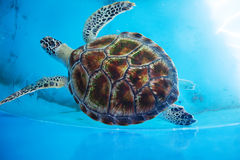 Adult turtle swims in pool Royalty Free Stock Photos