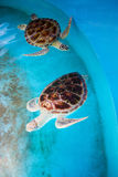 Adult turtle swims in pool Stock Image