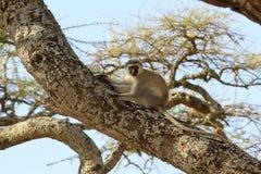 The adult Vervet monkey Stock Photo
