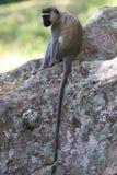The adult Vervet monkey Royalty Free Stock Photography