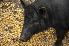 Adult Vietnamese Pot-bellied pig close-up. With corns on the ground royalty free stock photography