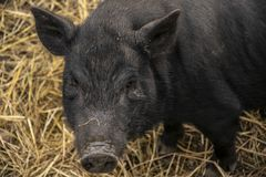 Adult Vietnamese Pot-bellied pig curious. Looking into the camera. Close-up photo stock images