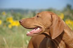 Adult Vizsla Head - Side View Royalty Free Stock Images