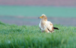 adult vulture perched on green field Stock Photos