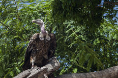 Adult vulture Royalty Free Stock Image