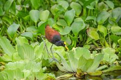 Wattled Jacana walking on floating water plants in Nicaragua lake royalty free stock photography