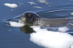 Adult Weddell seal the floating between pieces of ice in Antarct. Ic waters Royalty Free Stock Image