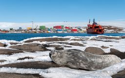Adult Weddell seal in front of ship RSV Aurora Australis, Mawson Station, Antarctica royalty free stock photography