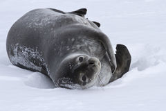Adult Weddell seal which lies in the snow Antarctic stock images