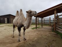 Two-humped camel at the zoo stock image