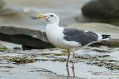 Adult Western Gull Stock Photos