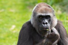 Romina, an adult Western Lowland Gorilla feeding at Bristol Zoo, UK. stock photos