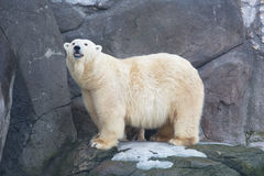 Adult white she-bear. To stand on stones royalty free stock photo