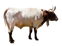 Adult white and brown bull Royalty Free Stock Images