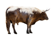 Adult white   bull, isolated over white Royalty Free Stock Photo