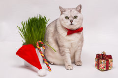 Adult white cat with a red bow tie on   background  green grass, Christmas ornament in the form of  gift,  lollipop and Royalty Free Stock Images