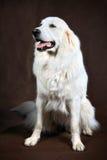 Adult white cream golden retriever studio Royalty Free Stock Photography