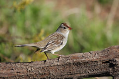 Adult White-crowned Sparrow. (Zonotrichia leucophrys) on a log Stock Image
