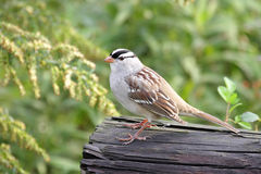 Adult White-crowned Sparrow Royalty Free Stock Photography