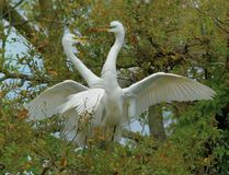 Mating egrets in tree, Florida. Adult white egrets in mating ritual in tree of Florida Royalty Free Stock Photos