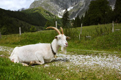 Adult White Goat Royalty Free Stock Images