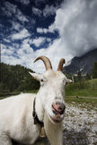 Adult White Goat Stock Photo