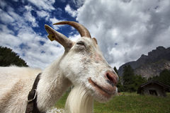 Adult White Goat Stock Photography