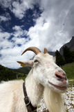 Adult White Goat Royalty Free Stock Photo