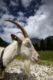 Adult White Goat Stock Images