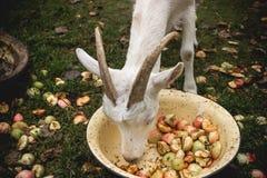 Adult white goat Stock Photography
