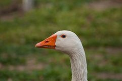 Adult white goose in the yard.Domestic animal.Outdoor royalty free stock photo