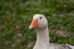 Adult white goose in the yard.Domestic animal.Outdoor royalty free stock photos