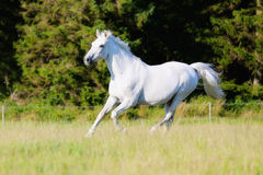 Adult White Horse Running Stock Images