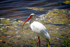 Adult White Ibis. In a swamp, Southwest Florida Royalty Free Stock Photography