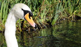 Adult White Mute Swan Male Bird. Head and neck Royalty Free Stock Image