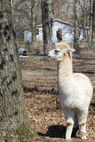 Adult White Peruvian Alpaca - Vicugna pacos Stock Photos