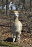 Adult White Peruvian Alpaca 3 - Vicugna pacos Stock Photography