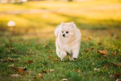 Adult White Pomeranian Spitz Dog Walking Outdoor In Autumn Grass royalty free stock images