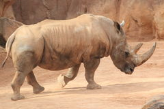 White rhinoceros Royalty Free Stock Image