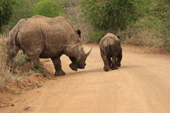 Adult white rhinoceros and young Royalty Free Stock Photography