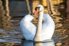 Adult white royal swan Royalty Free Stock Photo