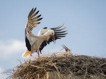 Adult white stork Ciconia ciconia feeding its chick Stock Photo