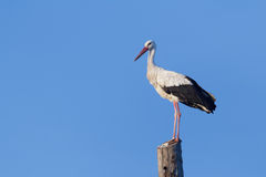 Adult white stork having a rest on wooden Royalty Free Stock Image