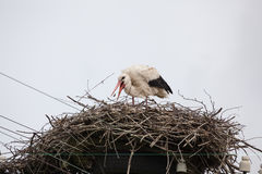 The adult white stork in a nest catches a beak of sterns. Against the background of the light blue sky royalty free stock image