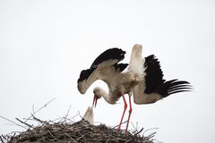 The adult white stork in a nest has inclined the head and has raised wings. Against the background of the light blue sky Royalty Free Stock Photos