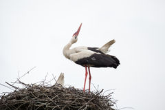 The adult white stork in a nest has raised the head. Against the background of the light blue sky Royalty Free Stock Photography