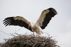 The adult white stork in a nest has raised wings. Against the background of the light blue sky Royalty Free Stock Photography