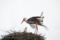 The adult white stork in a nest has straightened feathers on wings. Against the background of the light blue sky stock photos